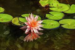 pink-water-lily-bill-barber
