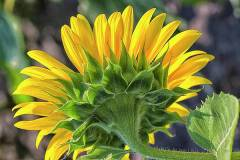 sunflower-backside-bill-barber