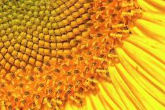 sunflower-up-close-bill-barber