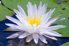 water-lily-bill-barber
