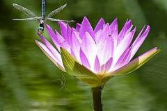 water-lily-with-dragon-fly-bill-barber