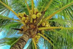 1-coconuts-in-tree-bill-barber