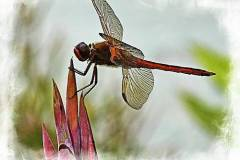 dragonfly-with-vignette-bill-barber
