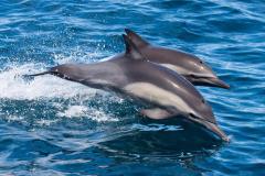 BOI-dolphin