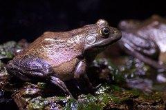 Bronze-Frog-web