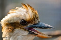 Crested-Coua