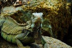Iguana-curious