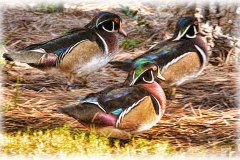 Wood-Ducks-Faux-Painting