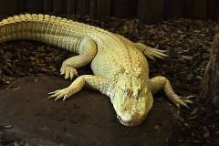 albino-alligator-bill-barber