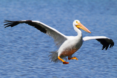 americal-white-pelican-landing