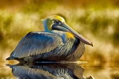 cold-pelican