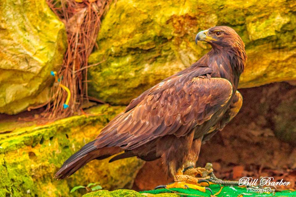 Golden-Eagle2-web.jpg