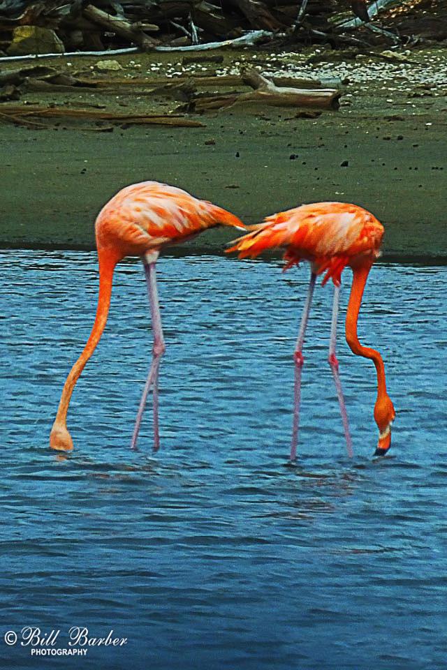Fishing-Flamingos-web-redo.jpg