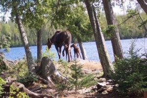 Mother moose and moose babies, the end