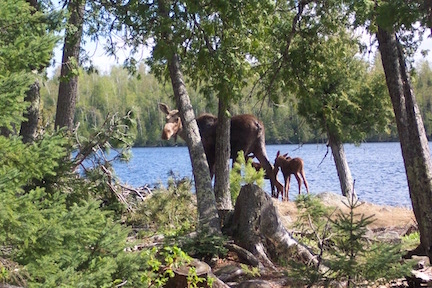 Mother Moose and 2 Babies on the Gunflint