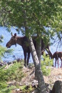 Momma moose and babies standing