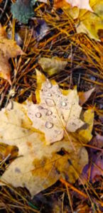 North Shore leaf with water droplets