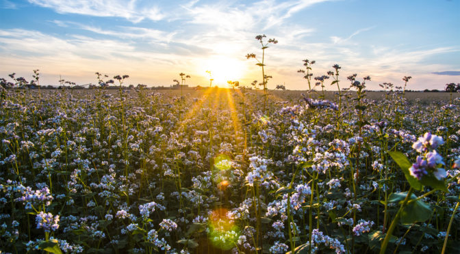 Buckwheat Month