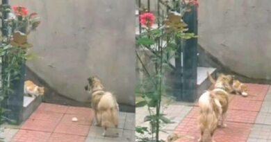 perritos gato video viral.jpg 554688468