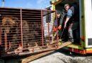 Osa que vivió en cautiverio por 20 años sigue «encerrada» en una jaula imaginaria (VIDEO)