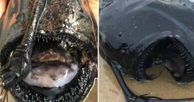EE.UU: Hombre encuentra monstruoso pez que vive en lo más profundo del mar mientras caminaba por la playa