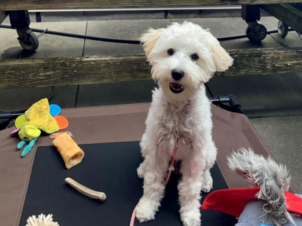 Cute toy dog