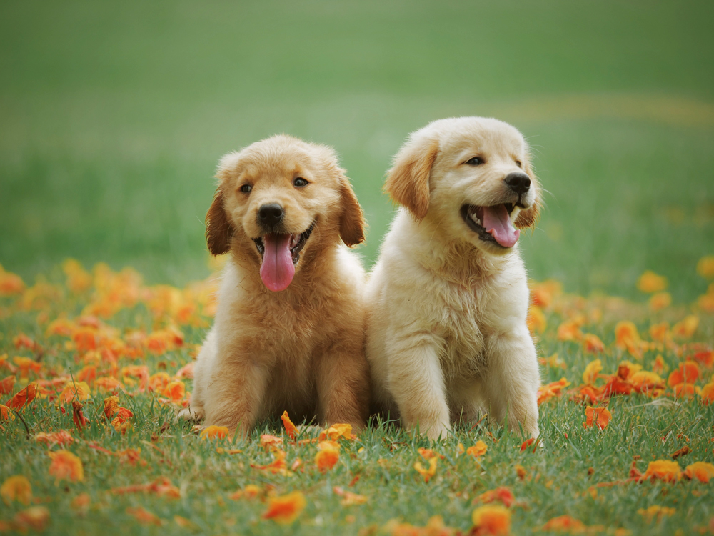Raising Sibling Pups Correctly and Meeting Their Needs