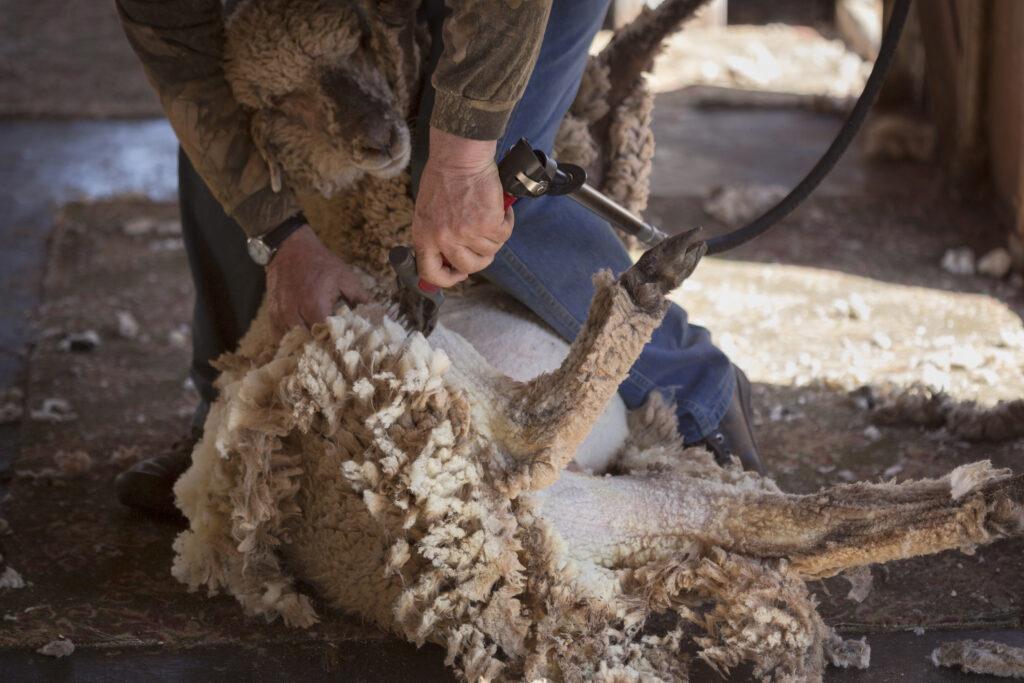 Man sheering a sheep