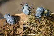 buy blue death feigning beetle