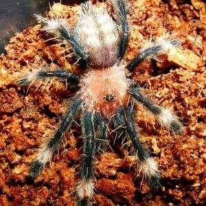 suntiger irminia tarantula buy