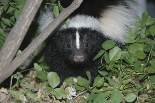 get rid of skunks under house