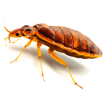 adult bed bug-pest control