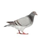 pigeon-bird control