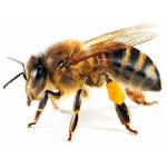 honey bee-removal-phoenix