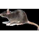 rat-rodent control