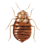 bed bug treatment phoenix-how to get rid of bed bugs