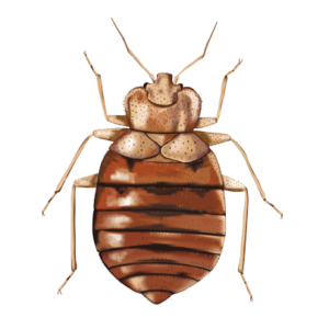 bed bug: how to get rid of bed bugs-bed bug treatment phoenix