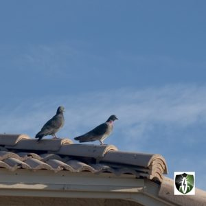 Commercial Pest Control: pigeons perched on a roof in Scottsdale, Arizona