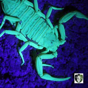 Scorpion Pest Control: Scorpion glowing under a black light