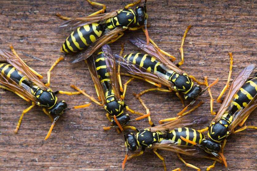 wasps.jpg.838x0 q67