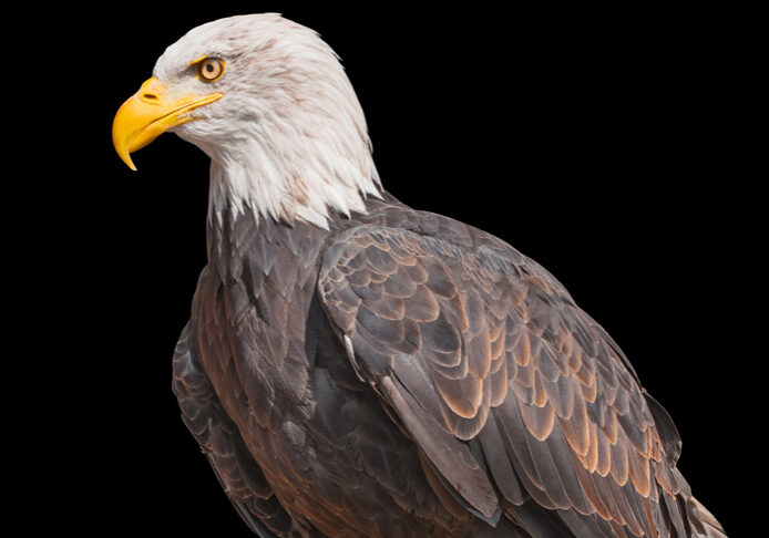 American Bald Eagle isolated on black background. North American bird of prey. Portrait of a bald eagle. National emblem of USA. Bald eagle in profile close up. Symbol of the United States of America