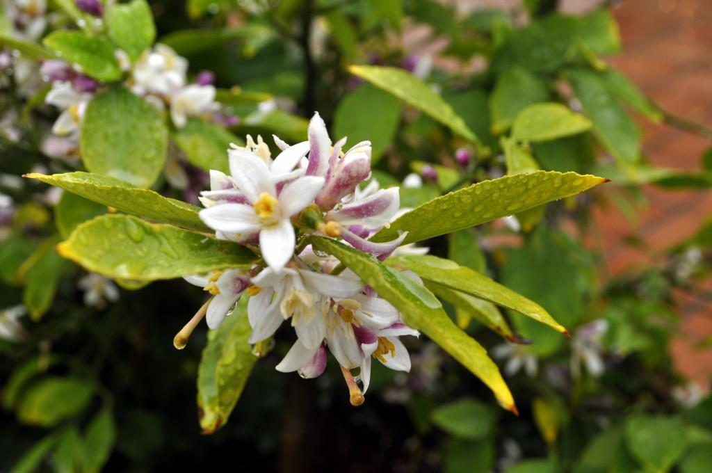 Orange blossoms - the natural fragrance of SoCal!