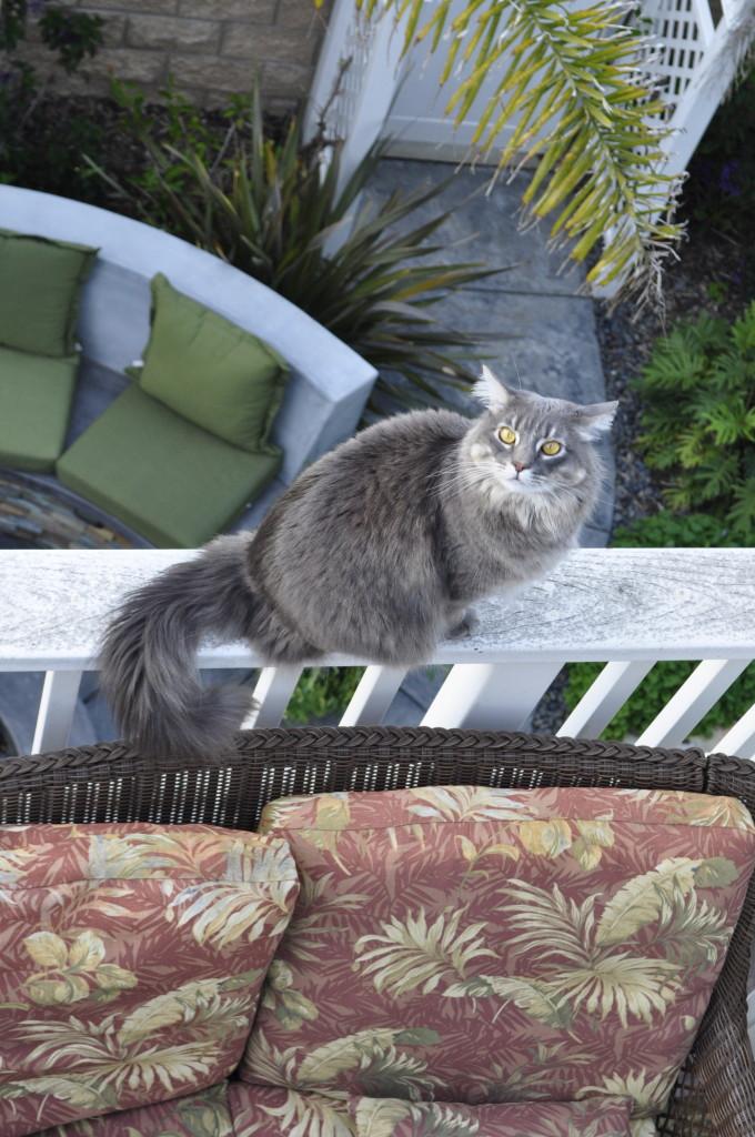 Tom Sawyer, the daredevil cat!