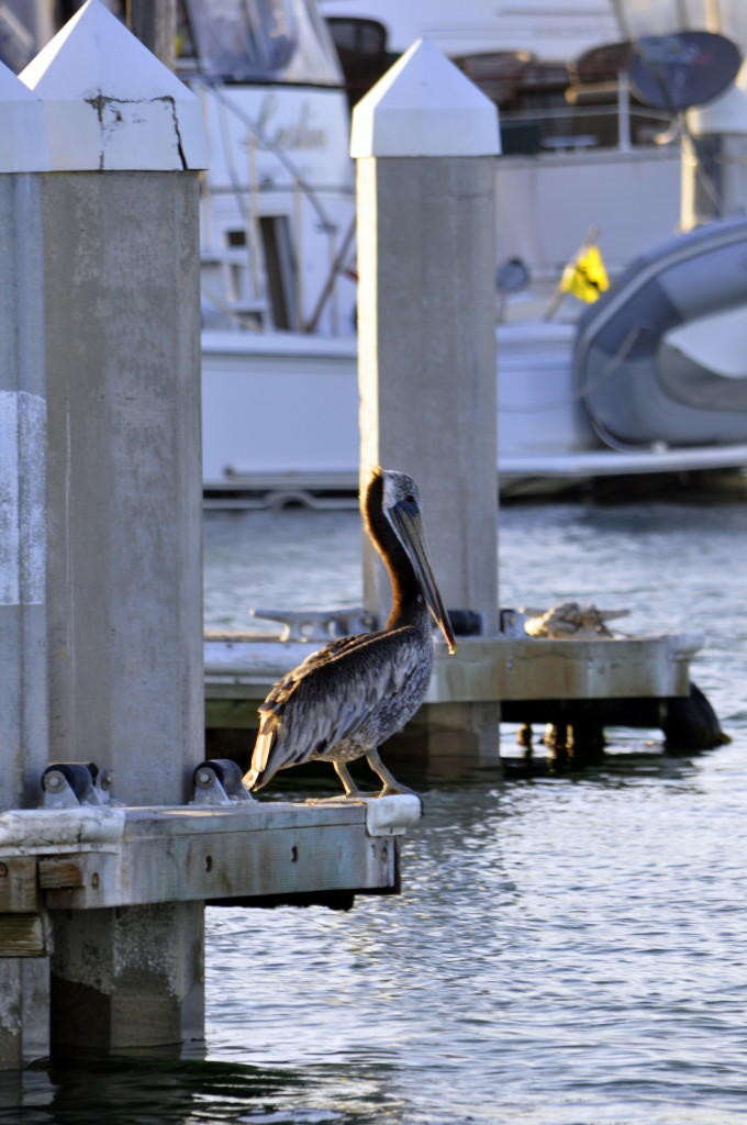 California Brown Pelican in Channel Islands Harbor