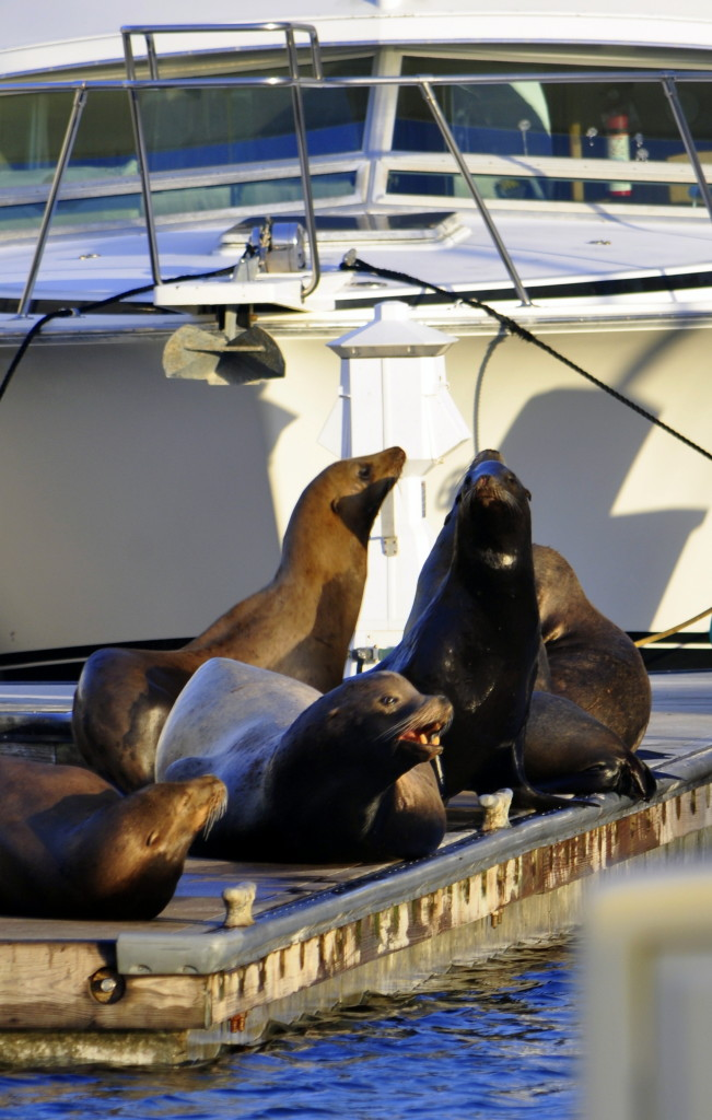 A bunch of noisy sea lions in Channel Islands Harbor.