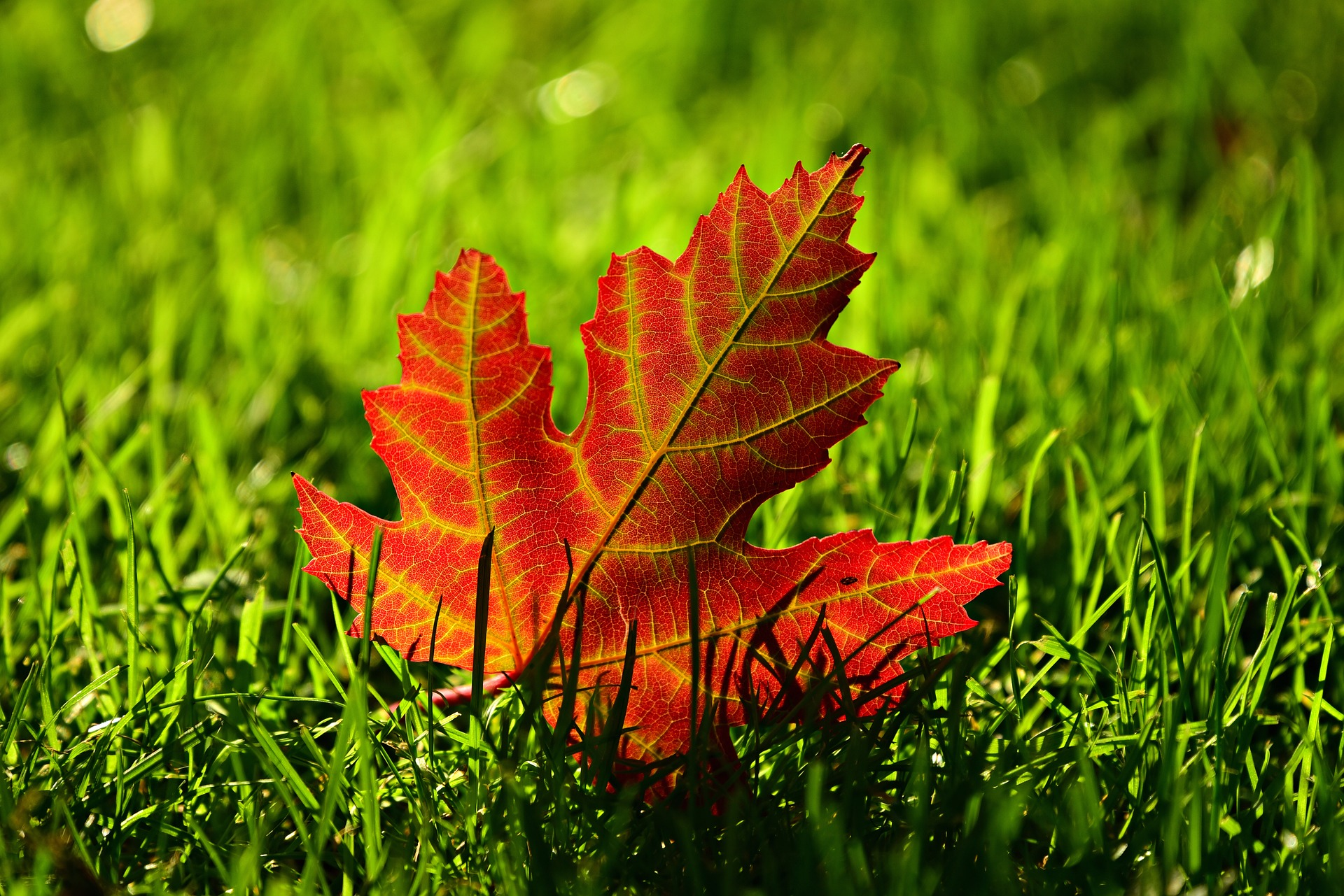 Closeup of a single red maple leaf upright in the grass