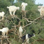 Goats in trees. Of course.