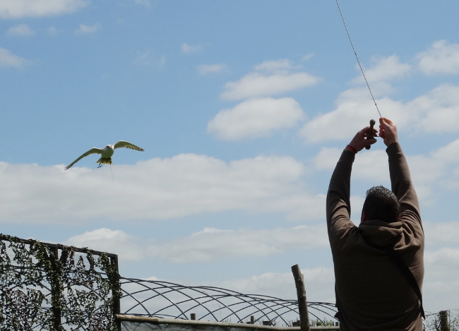 Gyr x Saker falcon chasing the lure