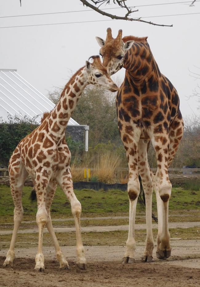 Rare and gorgeous Rothschild giraffe