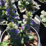 Ajuga Caitling Giant blooming in one gallon pots